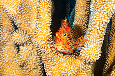 Typical of this family, the Blackside hawkfish (Paracirrhites forsteri) has thick spines in it⤙s pectoral fins to aid staying in place on it⤙s coral perch; Hawaii, United States of America - p442m2074131 by Dave Fleetham