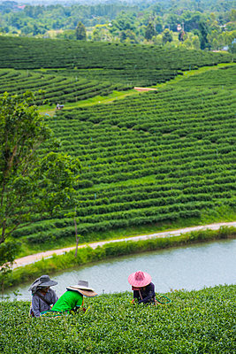 Tea plantation, Nan, Mueang Chiang Rai District, Thailand - p343m2025792 by Henn Photography