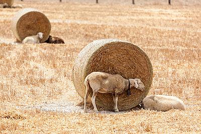 Schaf und Strohballen - p362m1541431 von André Wagner