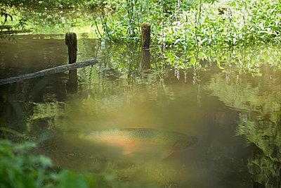 Forelle - p9792426 von Burkart