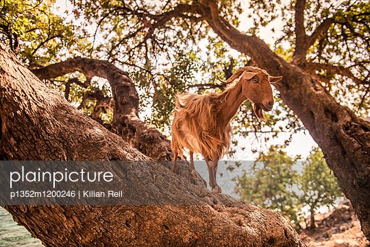 Ziege im Sommer, Loutro, Kreta - p1352m1200246 von Kilian Reil