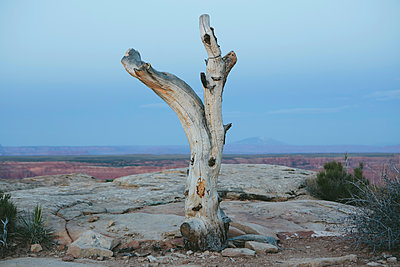 Tree remains on Muley Point, overlooking San Juan Canyon, Bears Ears National Monument, Utah. - p1100m1451047 by Mint Images