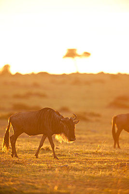 Gnu at sunrise - p533m1425576 by Böhm Monika