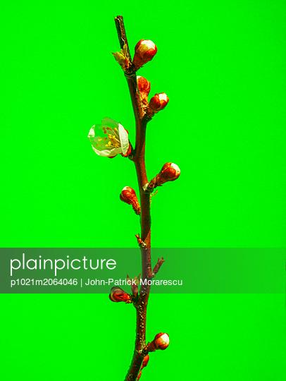 Aprikosenblüte - p1021m2064046 von MORA