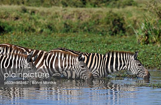 Zebras im Wasser - p533m982467 von Böhm Monika
