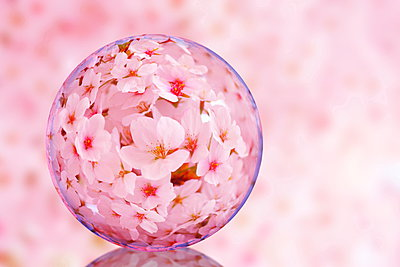 Glass globe and cherry blossoms - p307m961736f by Lee Seung Hun