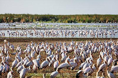 Yellow billed stork , Lake Manyara National Park, Tanzania, East Africa, Africa - p871m1583793 by Christian Kober