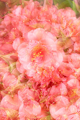 Pink coloured Alstroemerias  - p919m2195664 by Beowulf Sheehan