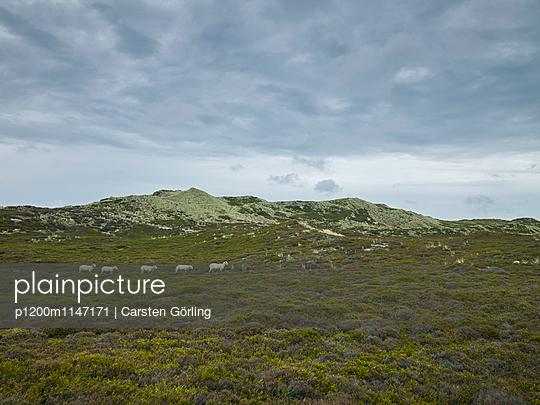 Schafe in den Dünen - p1200m1147171 von Carsten Görling