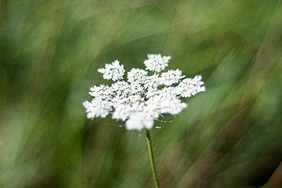Bishop's flower - p1153m951235 by Michel Palourdiau