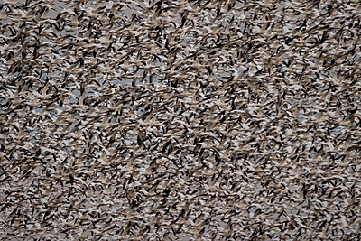 Thousands of Snow Geese blast off from a field - p1480m2148233 by Brian W. Downs