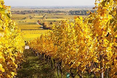 Germany,Rhineland-Palatinate, Pfalz, vineyards in autumn colours, German Wine Route - p300m2042043 by Gaby Wojciech