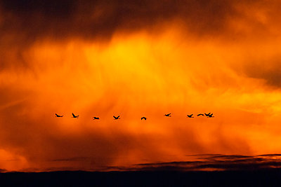 Germany, Mecklenburg-Western Pomerania, Common Cranes, Grus grus, at sunrise - p300m929911f by Hans Clausen