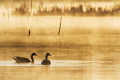 Canada geese (Branta canadensis) swimming on a lake at dawn, silhouettes in the mist; Quebec, Canada - p442m837832f by Philippe Henry