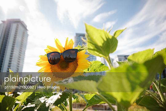 Sunglasses on vibrant sunflower in sunny, urban community garden - p1192m2130082 by Hero Images