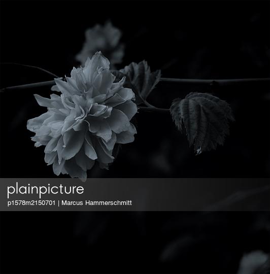 Puschel - p1578m2150701 von Marcus Hammerschmitt