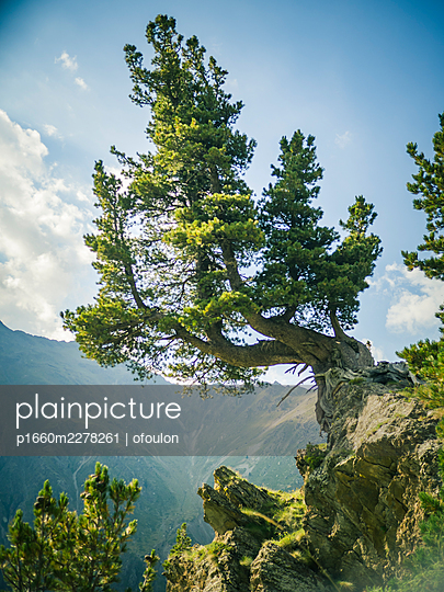 pine tree hanging on a mountain side - p1660m2278261 by ofoulon