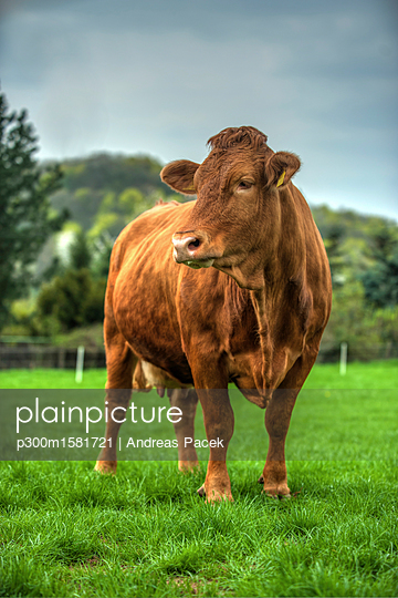 Germany, Dairy cow standing on pasture - p300m1581721 von Andreas Pacek