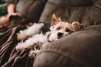 Yorkshire Terrier relaxing on sofa with boy in background at home - p1166m1416316 by Cavan Images