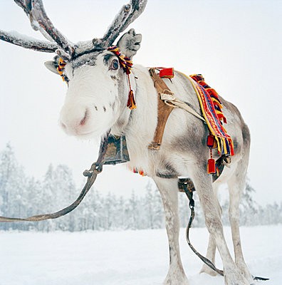 A Sami's reindeer in Lapland, Sweden - p429m802813 by Cultura