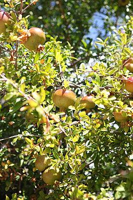 Pomegranates - p045m934770 by Jasmin Sander
