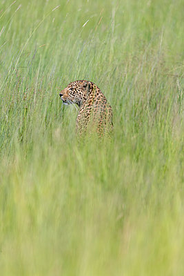 a leopard sits in the grass and looks around him - p1166m2136047 by Cavan Images