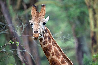 Giraffe - p745m740114 by Reto Puppetti
