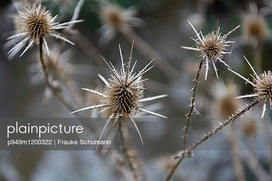 verblühte Disteln - p949m1200322 von Frauke Schumann
