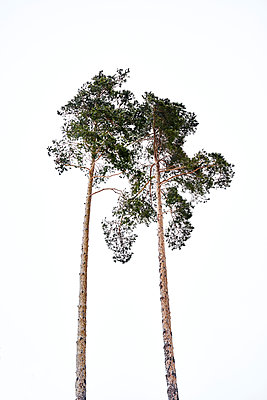 Two pine trees - p1312m2191371 by Axel Killian