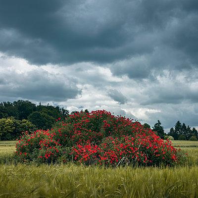 Klatschmohn und Gewitterwolken - p1324m1165143 von michaelhopf