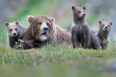 Brown Bear yawning mother and cubs, Katmai National Park, Alaska - p884m1510033 by Benjamin Olson