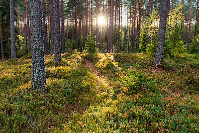 Coniferous forest - p312m2080053 by Thomas Adolfsén