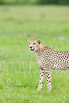 Cheetah - p533m1120347 by Böhm Monika