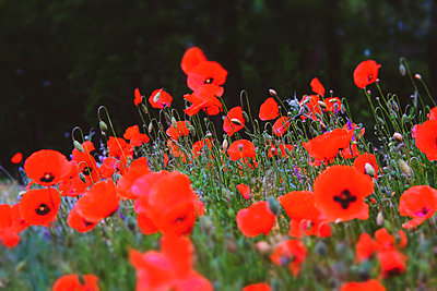 Poppy field - p739m2191678 by Baertels