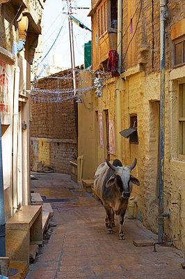 Kuh in einer Gasse in Jaisalmer - p1259m1111448 von J.-P. Westermann