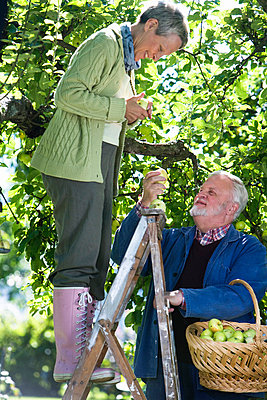 An elderly couple picking apples a sunny day Sweden. - p31218221f by Plattform