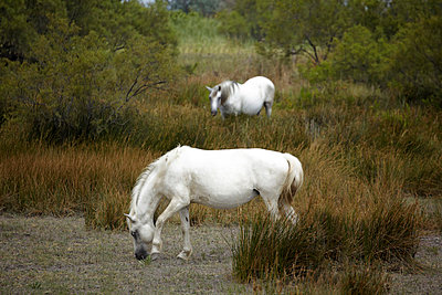 Pferde in der Camargue  - p4150309 von Tanja Luther