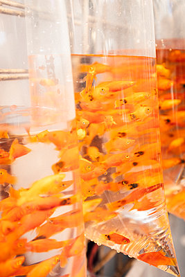 Fish in plastic bags on market in Hong Kong - p795m2186115 by JanJasperKlein