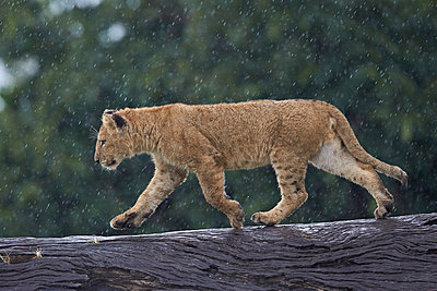 Lion  cub on a downed tree trunk in the rain, Ngorongoro Crater, Tanzania, East Africa, Africa - p871m1046622f by James Hager