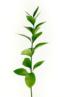 green ruscus branch and leaves against white background - p919m2204189 by Beowulf Sheehan