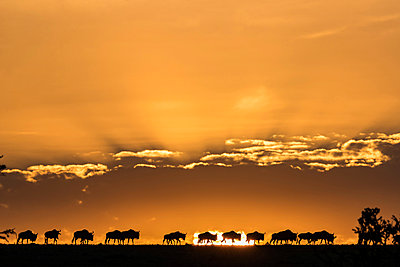 Kenya, Maasai Mara, Mara North Conservancy. Wildebeest on the move in single file at sunrise late in the dry season as they head south towards the Serenegti National Park in Tanzania. - p651m2033494 by Jonathan & Angela Scott