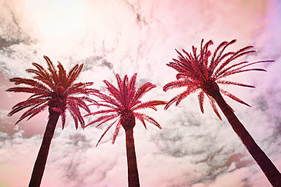 Palms in red against the light - p851m2110831 by Lohfink