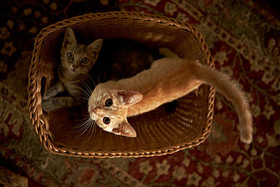 Kittens in Basket - p1260m1077990 by Ted Catanzaro
