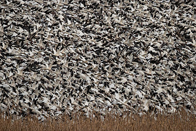 Thousands of Snow Geese blast off from a field - p1480m2148231 by Brian W. Downs