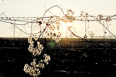 Sonne und Blüten - p979m1557842 von Martin Kosa