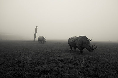 Two Rhinos in Field on Foggy Day - p694m992779 by Gareth Munden