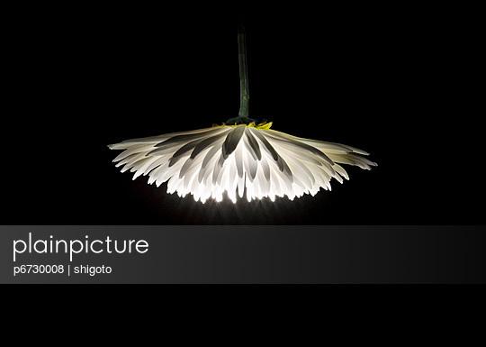 Glowing chrysanthemum - p6730008 by shigoto
