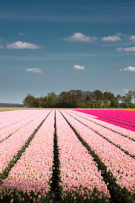 Tulip field - p1032m1139041 by Fuercho