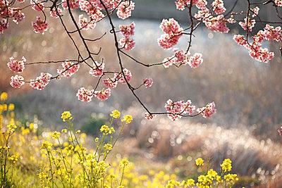 Cherry blossoms - p307m962365f by Tetsuya Tanooka
