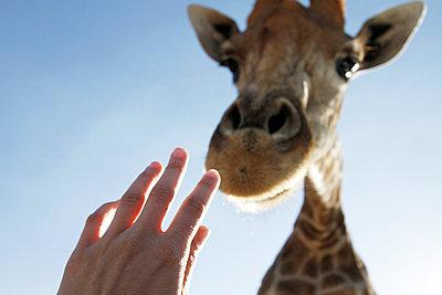Touching a giraffe - p9380056 by Christina Holmes